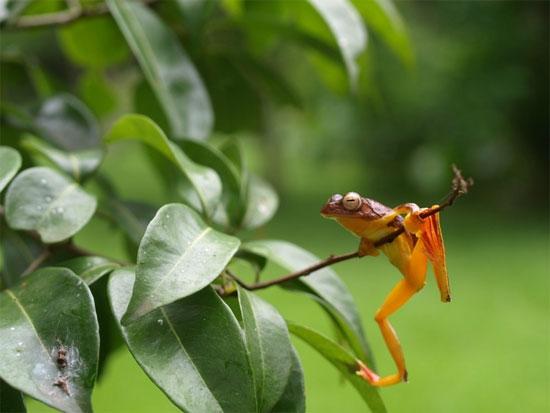 Ếch cây màng bơi đỏ thường sống ở rừng nguyên sinh trên độ cao 600-1000m.