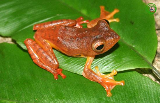 Nhưng vào ban đêm, loài ếch này như lột xác.