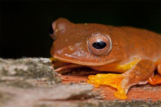 Sự thay đổi màu sắc này khiến ếch cây màng bơi đỏ nổi bật trong bóng tối.