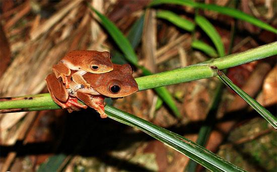 Ếch đực có chiều dài thân khoảng 40mm, trong khi con cái lớn hơn gấp rưỡi.