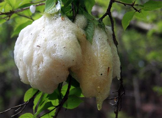 Sau màn giao hoan, ếch cái sẽ đẻ trứng trong các tổ bằng bọt, được cuộn lại bằng lá cây.