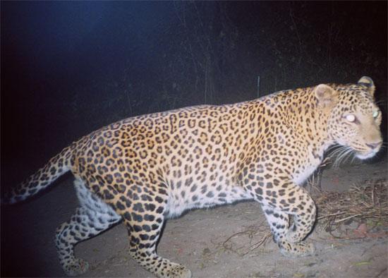 Một con báo di chuyển trên đường tại bang Maharashtra, Ấn Độ vào ban đêm.