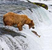 Ảnh cực ngộ nghĩnh về bầy gấu xám săn cá hồi trên thác nước