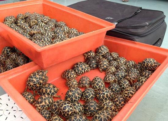 Những con rùa lưỡi cày mà cảnh sát Thái Lan thu giữ tại Bangkok.