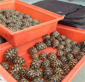 Giới bảo tồn sốc vì vụ buôn lậu rùa hiếm ở Thái