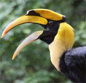 """Loài chim có """"bảo bối"""" hấp dẫn bạn tình nhất Việt Nam"""