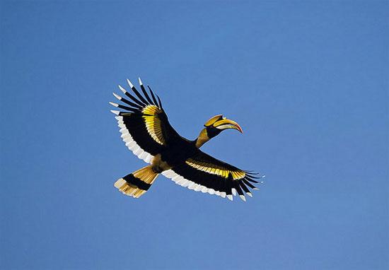 Chiếc mũ tỏ ra khá tương xứng với cơ thể to lớn của hồng hoàng. Loài chim này có thể dài tới 95-120cm, sải cánh dài 1,5m và cân nặng 2-4kg.