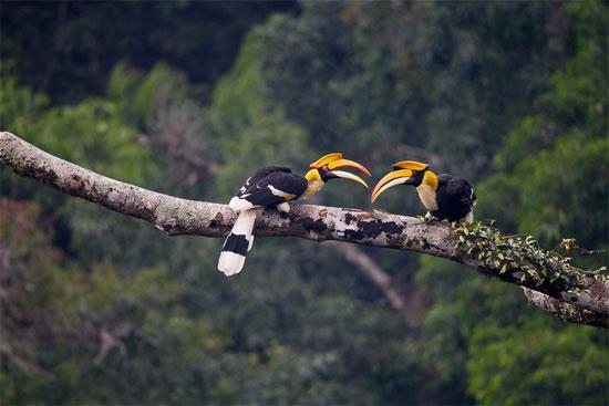 Loài chim này thường sống theo các cặp một vợ một chồng trong đàn có số lượng hàng chục cá thể.
