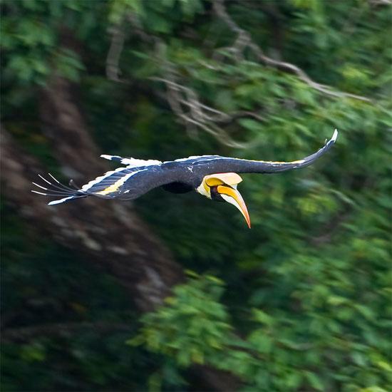 Tại Việt Nam, chim hồng hoàng phân bố rải rác tai các khu rừng rậm trên cả 3 miền.
