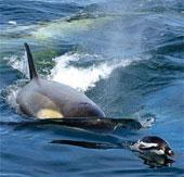 """""""Sát thủ đại dương"""" săn chim cánh cụt"""