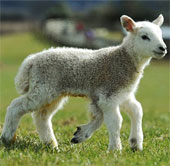 Cừu 5 chân chào đời ở Anh
