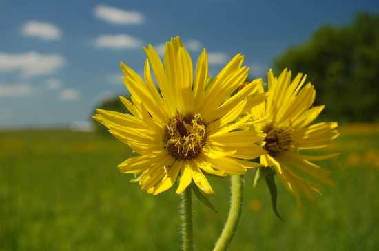 Hoa Silphium