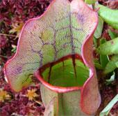 Bất ngờ với hệ sinh vật trong cây nắp ấm