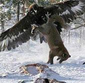 Video: Màn săn đuổi, giết chết sói của đại bàng