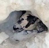 Video: Cừu sống sót sau 11 ngày bị vùi trong tuyết