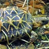 """Dân chơi Việt """"mê mệt"""" loài rùa đẹp nhất thế giới"""