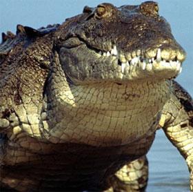 Những điều thú vị về loài cá sấu