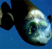 Video: Loài cá kỳ lạ có đầu trong suốt