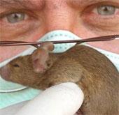 Chuột cũng biết ho như người
