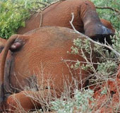 Kenya tuyển 1.000 kiểm lâm chống nạn săn trộm voi