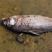 Cá sông chết hàng loạt ở Trung Quốc