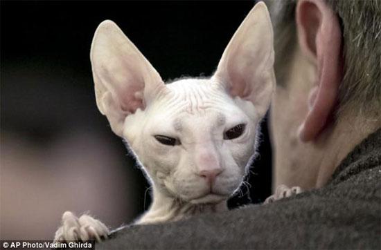 Điều đặc biệt là những con mèo này có khuôn mặt rất giống những bức tượng nhân sư trong các lăng mộ cổ ở Ai Cập và hoàn toàn không có lông trên cơ thể.