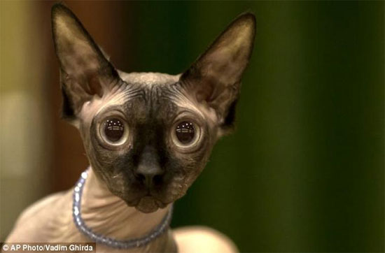 Rất nhiều người cho rằng những chú mèo xấu xí này là món quà của bà mẹ tự nhiên dành tặng cho loài người.
