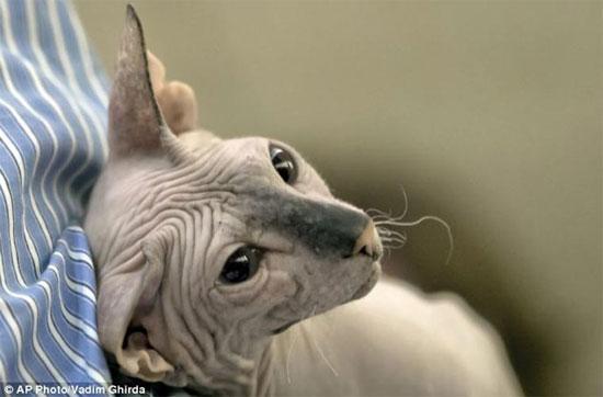 Tuy vẻ bề ngoài có vẻ rất hung dữ nhưng thực chất mèo nhân sư là vật nuôi rất thân thiện với con người.