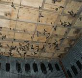 Hàng nghìn con chim yến bị chết dương tính với H5N1