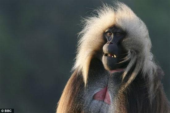 Loài khỉ Geladas chỉ sinh trưởng ở các vùng núi xa xôi của Ethiopia.