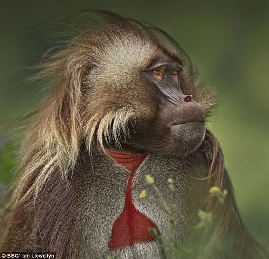 Khỉ geladas có họ hàng gần gũi với khỉ đầu chó.