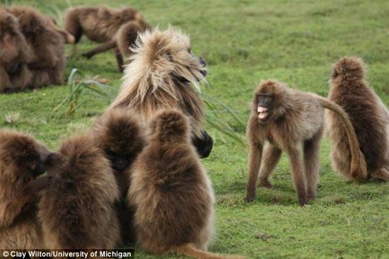 Khỉ geladas là loài thích giao du và sống thành bầy đàn lớn.