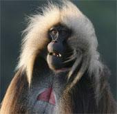 """Loài khỉ biết """"nói"""" như người"""