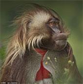 """Video: Loài khỉ biết """"nói"""" như người"""