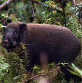 Giới chức Mỹ đau đầu vì lợn rừng
