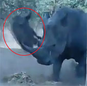 Video: Rợn người cảnh tê giác húc lợn rừng... bay lên trời