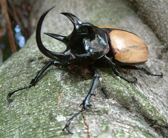 """Bọ hung 5 sừng (Eupatorus gracilicornis) sẽ khiến nhiều người """"choáng"""" vì kích thước rất lớn và hình thù kì dị có một không hai."""