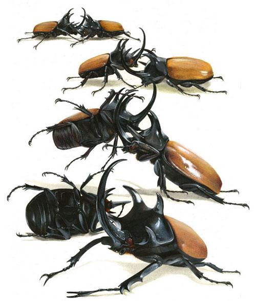 """Những chiếc sừng này là vũ khí giao chiến của các con đực. Nó được dùng để """"vật ngã"""" đối thủ chứ không có tác dụng sát thương, vì loài côn trùng này có lớp vỏ ngoài cứng như thép."""