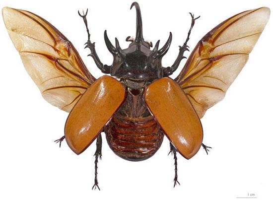 Dù trông rất nặng nề, nhưng bọ hung năm sừng có thể bay lượn khá linh hoạt.
