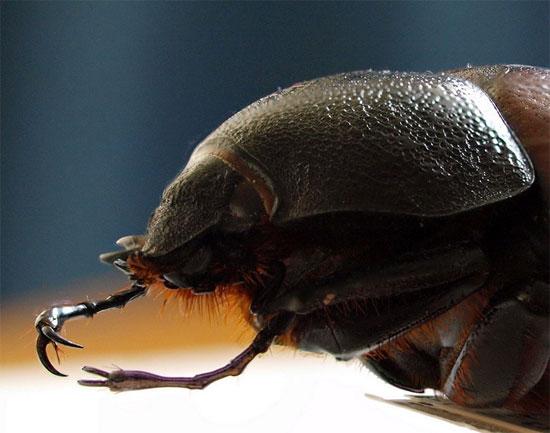 Bọ cái có màu sắc giống con đực, nhưng đầu và ngực không có sừng.