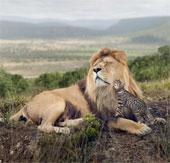 """Mèo nhà """"giỡn mặt"""" sư tử, """"săn đuổi"""" voi châu Phi"""
