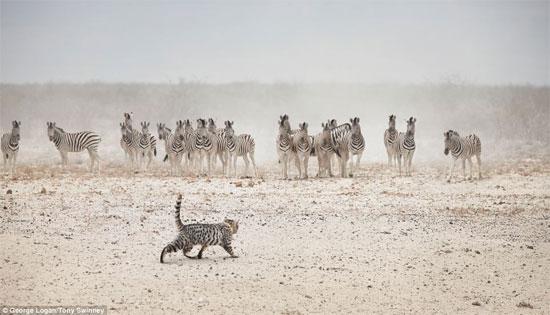 Chú mèo tự tin đối đầu với đàn ngựa vằn.