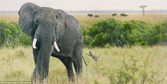 Chú mèo dường như đang đùa nghịch với đuôi voi, nhưng đây thực chất chỉ là một bức ảnh ghép.