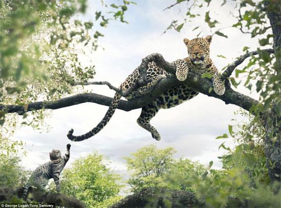 Chú mèo chọc ghẹo báo châu Phi.