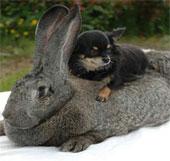 """Video: Ngắm chú thỏ """"khủng"""" nhất thế giới"""