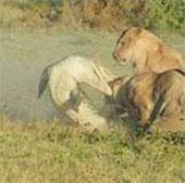 Video: Cá sấu lên bờ hạ gục cả đàn sư tử