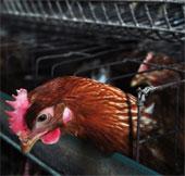 Tìm ra nguồn gốc chủng cúm chết người H7N9