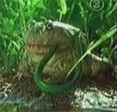 Video: Ễnh ương hạ gục, nuốt chửng rắn đầy ma mị