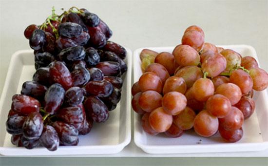 Nho đỏ Mỹ (trái) và nho Trung Quốc (phải) có sự khác biệt khá lớn. Trong khi nho Mỹ  quả cứng và có màu sậm thì nho Trung Quốc mềm, mọng hơn và có màu nhợt nhạt.