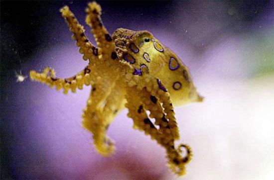 Dù chỉ có kích thước bằng một quả bóng đánh golf, nhưng chú mực này lại cực độc, có thể giết chết người. Và dưới nước, chúng không có đối thủ.